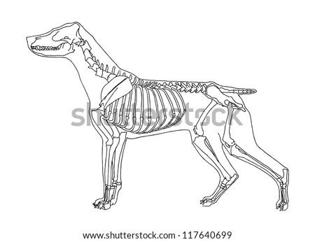 Dog skeleton - stock vector