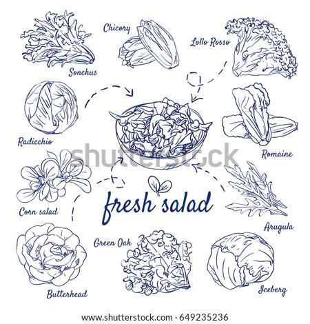 Doodle set of fresh salad - Sonchus, Chicory, Lollo Rosso, Radicchio, Corn, Romaine, Arugula, Green Oak, Butterhead, Iceberg, hand-drawn. Vector sketch illustration isolated over white background.