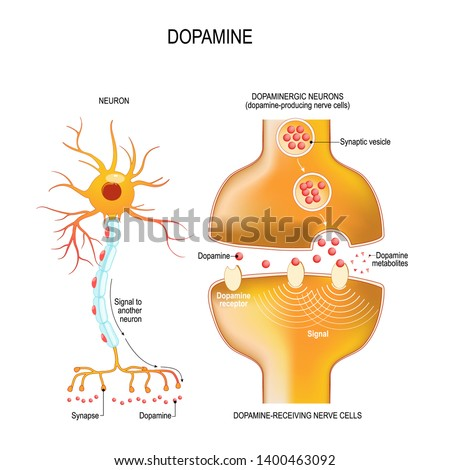 Dopamine. closeup presynaptic axon terminal, synaptic cleft, and dopamine-receiving nerve and dopamine-producing cells. Labeled diagram. Vector illustration for educational, biological, medical use