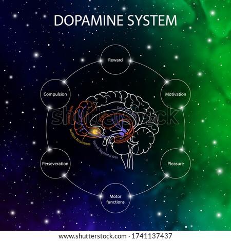 Dopamine pathways in the brain. Dopamine functions. Neuroscience medical infographic. Striatum, substantia nigra, hippocampus, ventral tegmental area and nucleus accumbens. Stock photo ©