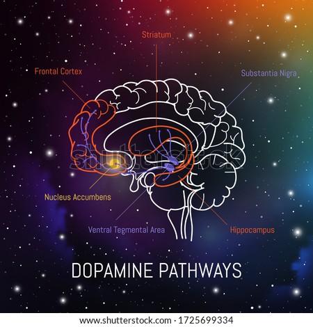 Dopamine pathways in the brain. Neuroscience medical infographic. Striatum, substantia nigra, hippocampus, ventral tegmental area and nucleus accumbens. Foto stock ©