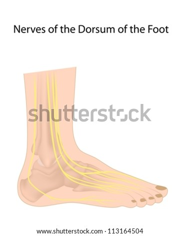 Dorsal digital nerves of foot, commonly affected in diabetic neuropathy