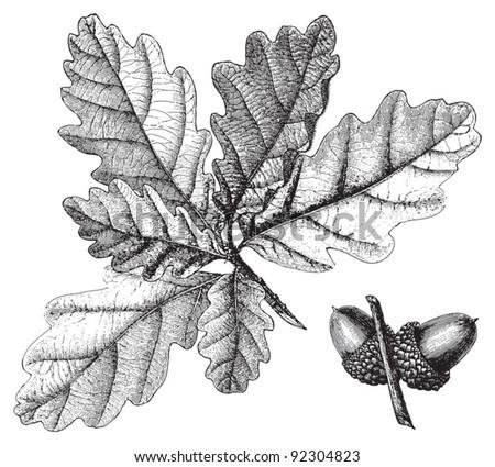 Downy Oak (Quercus pubescens) / vintage illustration from Meyers Konversations-Lexikon 1897