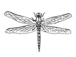 dragon fly beetle, insect species isolated engraved, hand drawn animal in vintage style.