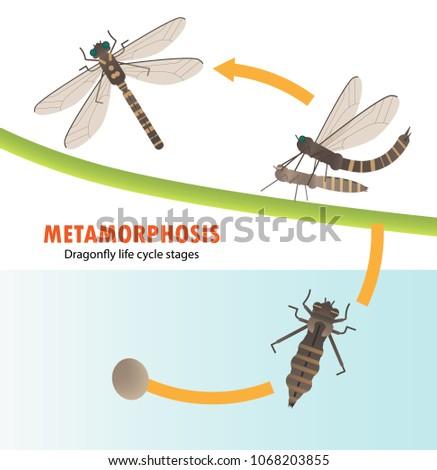 Dragonfly life cycle metamorphosis