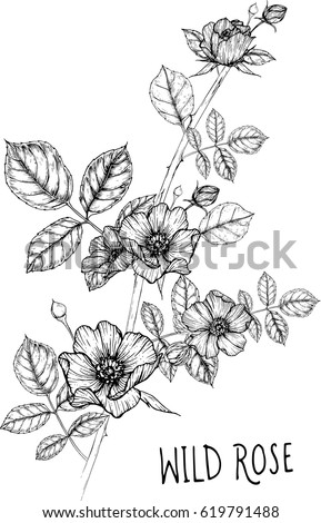 drawing flower. wild rose clip art, vector or illustration. #619791488