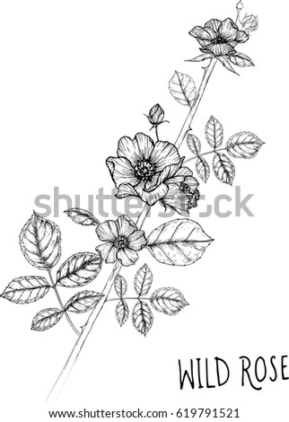 drawing flower. wild rose clip art, vector or illustration. #619791521