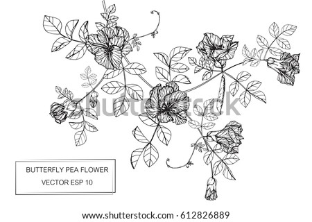 Drawing flowers. Butterfly pea flower vector illustration and clip art on white backgrounds. #612826889