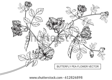 Drawing flowers. Butterfly pea flower vector illustration and clip art on white backgrounds. #612826898