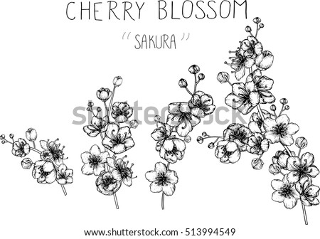 drawing flowers cherry blossom