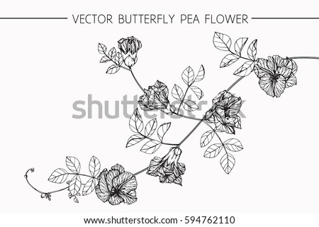 Drawing flowers. Vector collection set of butterfly pea flower by hand drawing on white backgrounds. #594762110