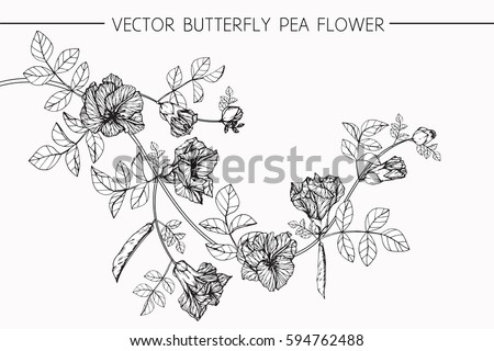 Drawing flowers. Vector collection set of butterfly pea flower by hand drawing on white backgrounds. #594762488