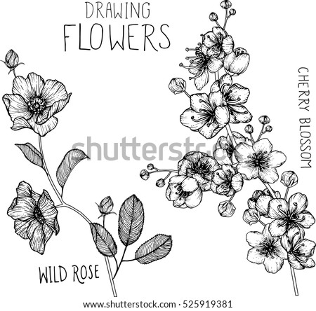 drawing flowers. Wild roses and cherry blossom clip-art or illustration. #525919381