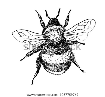 Drawing of bumblebee - hand sketch of insect, black and white illustration