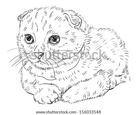 Раскраска шотландский котенок