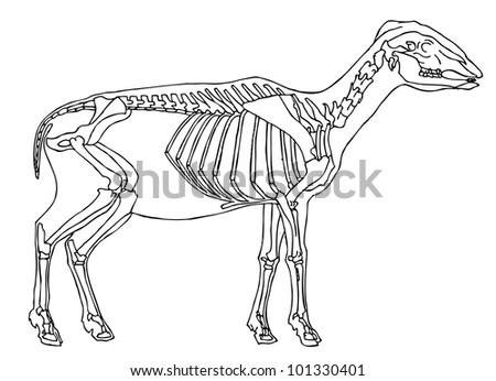 drawing of sheep skeleton