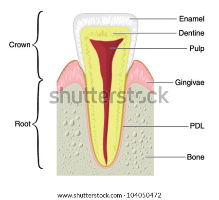 Structure of tooth vectors download free vector art stock drawing to show the main anatomical structures of a typical incisor tooth including the bone ccuart Images
