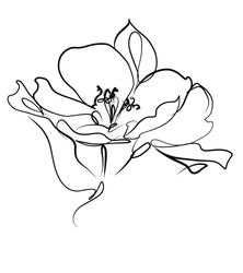 Drawing vector graphics with floral pattern for design. Floral flower natural design. Graphic, sketch drawing. lily, tulip.