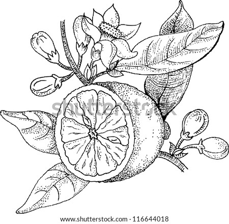 Drawings Blossoming Lemon Stock Vector 116644018 ...