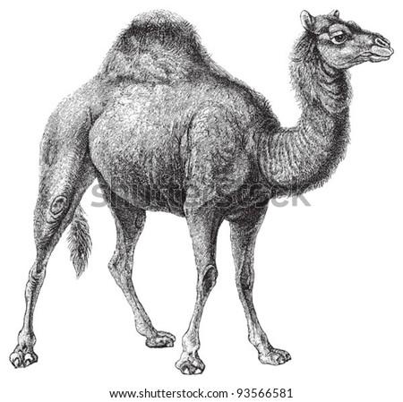 Dromedary (Camelus dromedarius) / vintage illustration from Meyers Konversations-Lexikon 1897