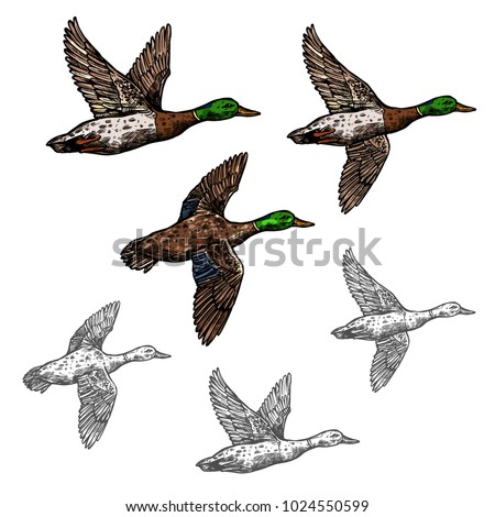 Duck mallard wild bird vector sketch icon. Drake duck flying symbol for wildlife fauna and zoology or hunting sport team trophy symbol and nature zoo adventure club design