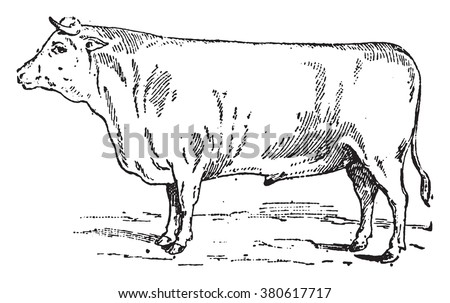 Durham Ox, vintage engraved illustration. Dictionary of words and things - Larive and Fleury - 1895.
