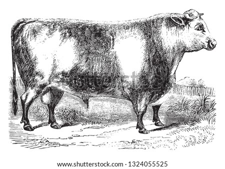 Durham Ox, vintage engraved illustration. From Zoology Elements from Paul Gervais.