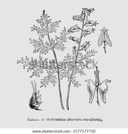 Dutchman's breeches (Dicentra cucullaria) is a plant in the family Fumariaceae. Vintage encyclopedia illustration, engraving, scientific botany , botanical clip art design, antique book herbal study.