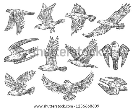 Eagle, hawk and falcon sketches with flying birds of prey. Vector predatory animals hunting or attacking in the air with spreaded wings. Falconry sport, wild nature and wildlife protection theme