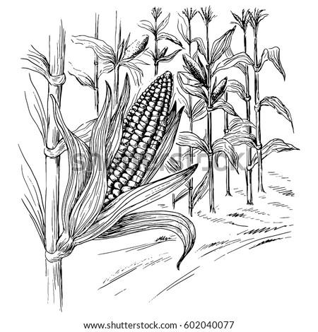 ears of corn in a field in...