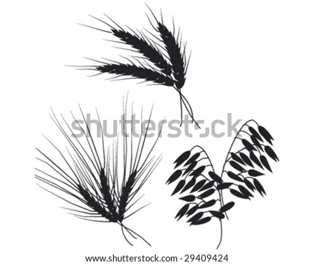 ears of wheat, rye and oats vector