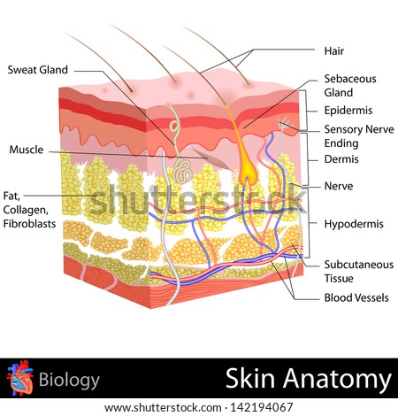 Skin Cell Diagram Printing Human Skin Lab Bench To Class Desk