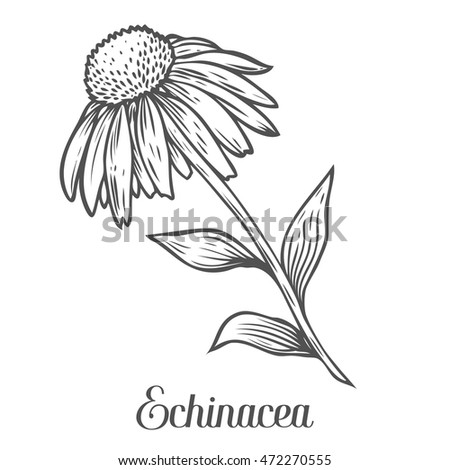 Echinacea flower, leaf, plant. Black isolated on white background. Organic nature medicinal ayurvedic herb. Hand drawn engraved sketch vector illustration.