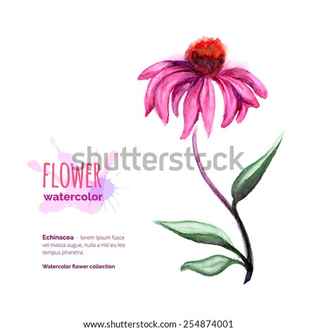Echinacea Purpurea, officinal plant on white, hand painted watercolor cone flower, vector illustration