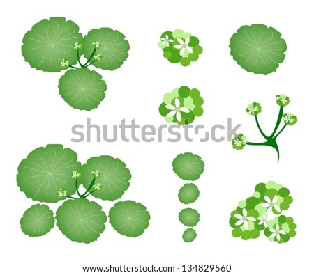 Ecological Concept, An Illustration Collection of Landscaping Tree Symbols or Isometric Asiatic Pennywort or Hydrocotyle Umbellata Plant for Garden Decoration