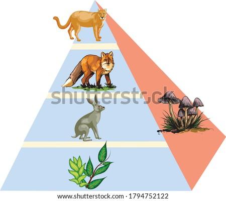 ecology animal food pyramid trophic Foto stock ©