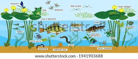 Ecosystem of pond. Animals living in pond. Diverse inhabitants of pond (fish, amphibian, leech, insects and bird) in their natural habitat with titles ストックフォト ©