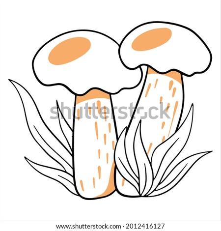 edible mushrooms two boletus