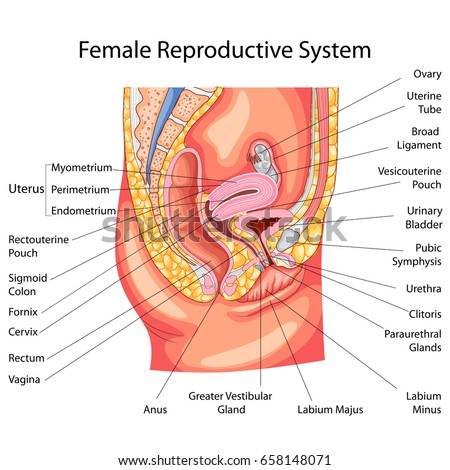 Education Chart of Biology for Female Reproductive System Diagram. Vector illustration