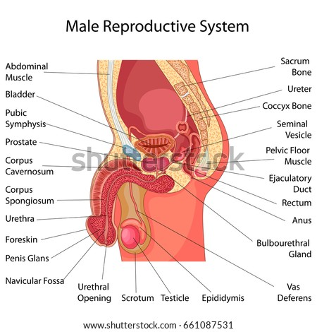 Education Chart of Biology for Male Reproductive System Diagram ...