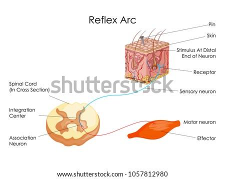 reflex free vector art 27 free downloads