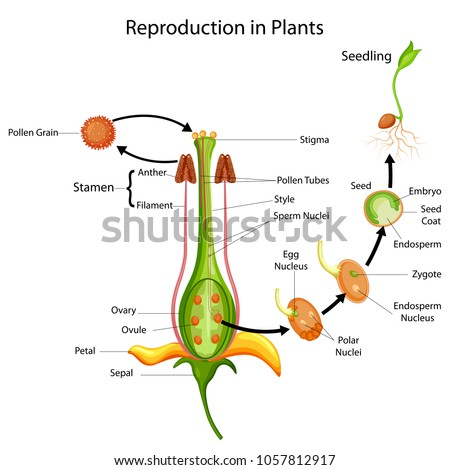 Education Chart of Biology for Reproduction in Plant Diagram. Vector illustration.
