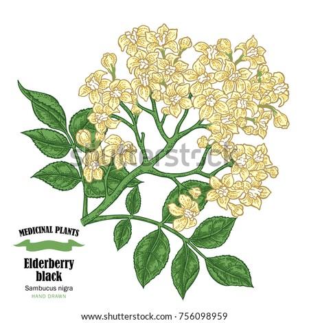 elderberry black  sambucus