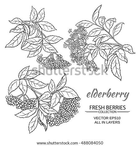 elderberry vector set