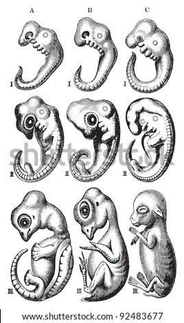 Turtle embryo development - photo#12