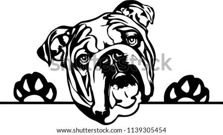 English Bulldog lap dog breed face head isolated pet animal domestic pet canine puppy purebred pedigree hound portrait peeking paws smiling smile happy art artwork illustration design set  Stock photo ©