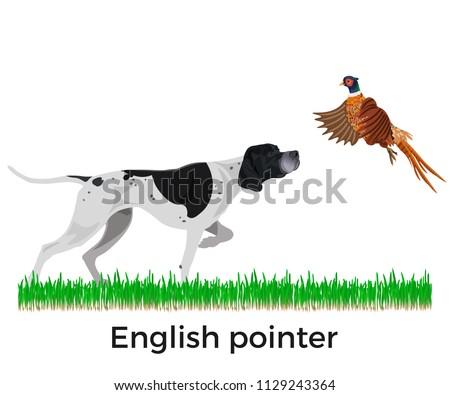 english pointer pheasant