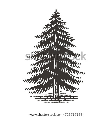 Engraved fir tree. Vector illustration of a fir tree. Hand drawn engraving style illustrations.