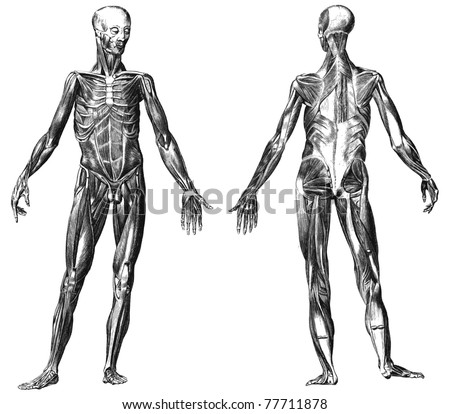 Engraving body with muscles illustrations from atlas published in 1851 (The iconographic encyclopedia of science, literature and art). Vector image. Other illustrations in my portfolio.