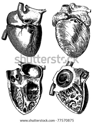 Engraving heart illustrations from atlas published in 1851 (The iconographic encyclopedia of science, literature and art). Vector image. Other illustrations in my portfolio.
